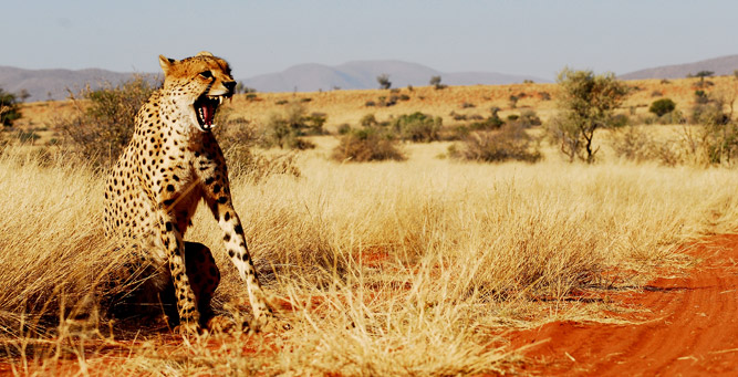South Africa's Safari Secrets - Cheetah in the Kalahari