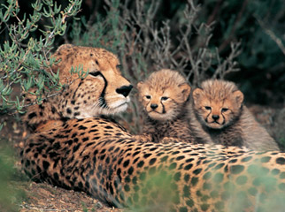 South Africa's Safari Secrets - a cheetah mother and her cubs