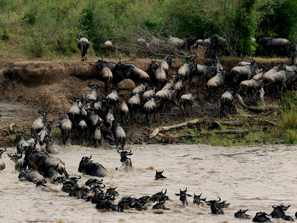 Mara Plains Camp - Wildebeest migration