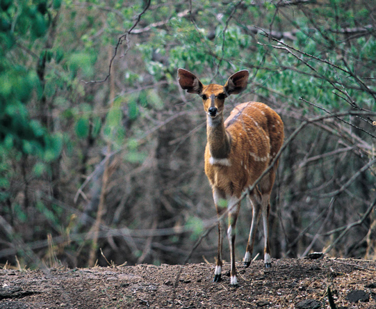 The handsome Chobe bushbuck is endemic to the region but is often seen at the river's edge.