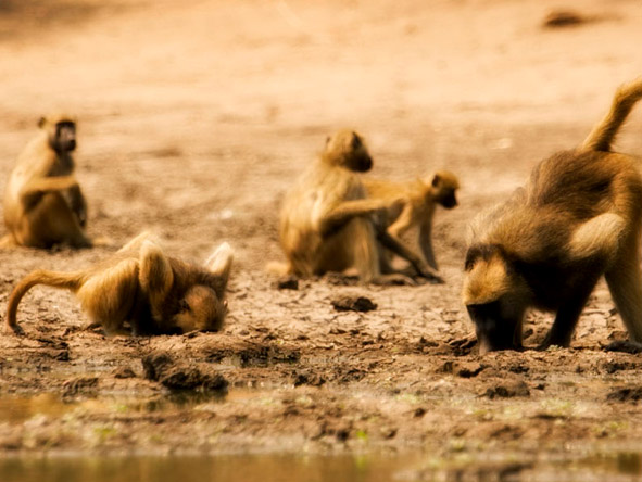 At Mana Pools, you won't be the only primates coming down to the river to explore!
