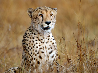 Things to Do in Zambia - a cheetah on the lookout for prey
