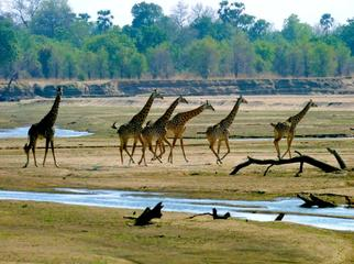 Things to Do in Zambia - a herd of Thornicraft Giraffe