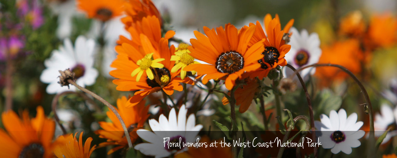 Flower Power - An Outing to the West Coast National Park