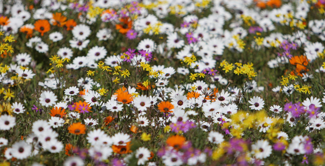 Flower Power - A field of multi-coloured daisies
