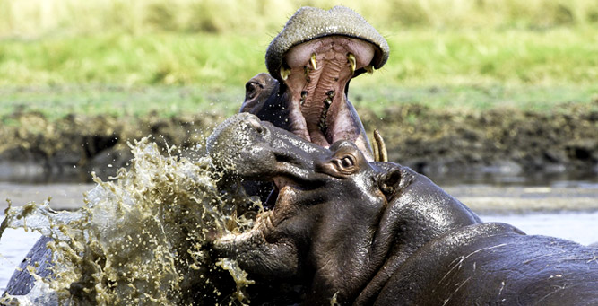 10 Silly Questions Heard on Safari: Can I swim with Hippos?