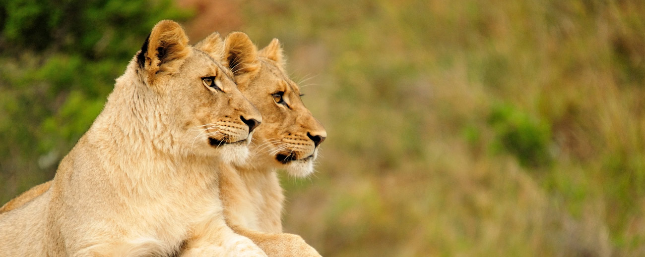 Go2Africa Travel Blog - Queens of the Savannah
