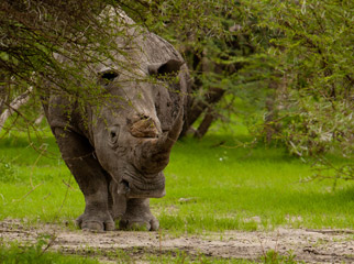 Top Tips on Photographing the Big 5 - male rhino