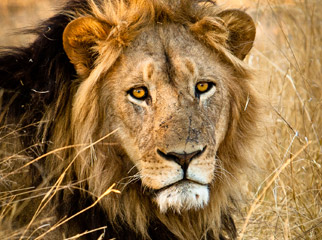 Top Tips on Photographing the Big 5 - male lion