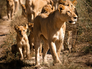 Top Tips on Photographing the Big 5 - lion pride