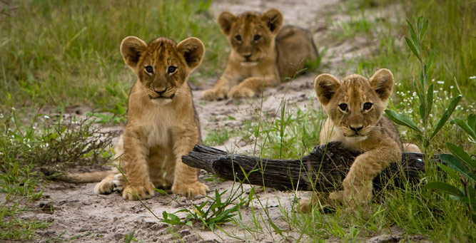 Top Tips on Photographing the Big 5 - lion cubs