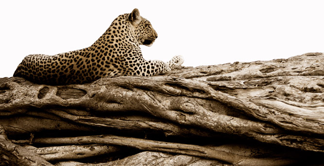 Top Tips on Photographing the Big 5 - lone leopard