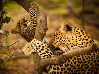 Top Tips on Photographing the Big 5 - leopard and cub