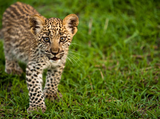 Top Tips on Photographing the Big 5 - leopard cub