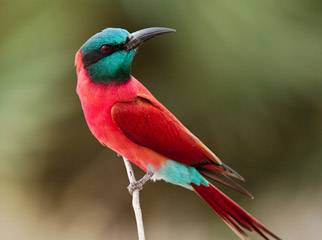 Top 5 Chobe Experiences - Crimson Bee Eater