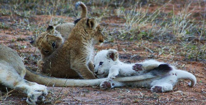 White Lions of Klaserie - white cub