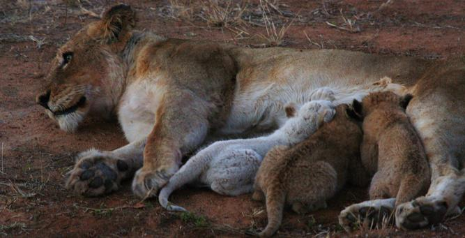 White Lions of Klaserie - the cubs nursing