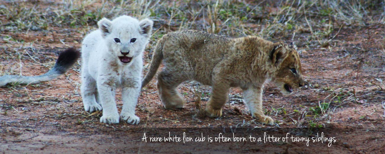 White Lions of Klaserie