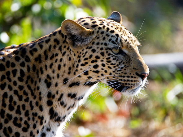Luxurious Vic Falls & Botswana Safari - Leopard sightings