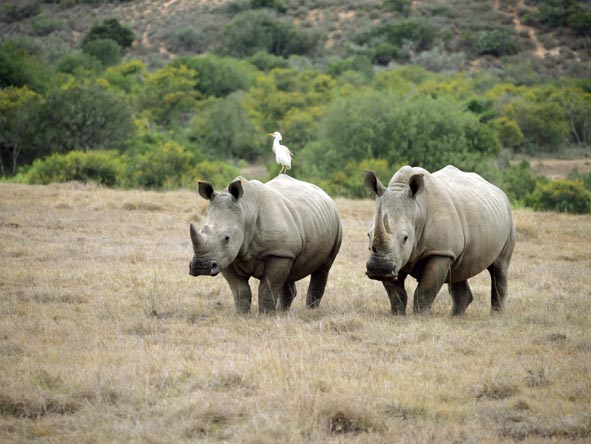 HillsNek Safaris - Black & white rhino