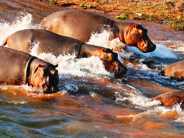 Changa Safari Camp - Hippos