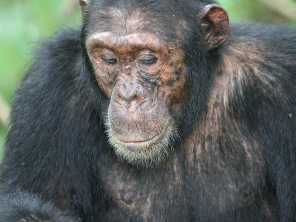 Kungwe Beach Lodge - Chimpanzee tracking