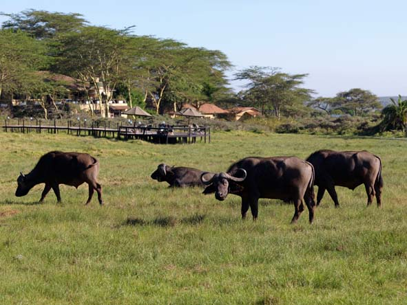 Hatari Lodge - Buffalo