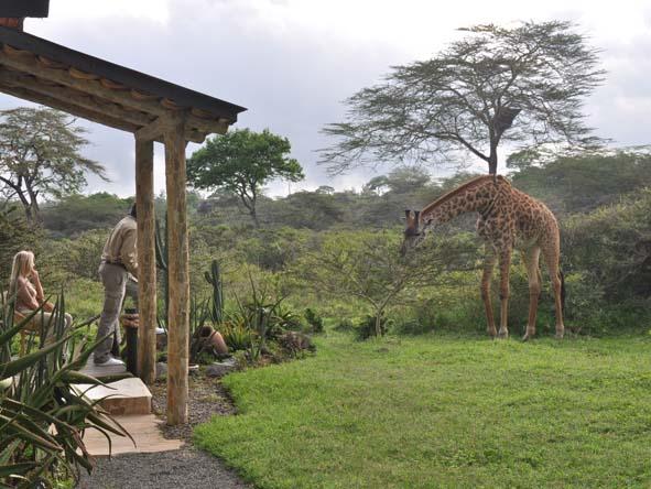 Hatari Lodge - Giraffes