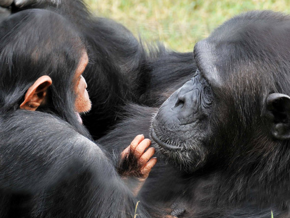 Sweetwaters Tent Camp - Chimpanzee sanctuary
