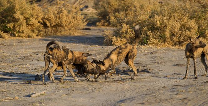Going Private in Botswana - wild dogs at Selinda