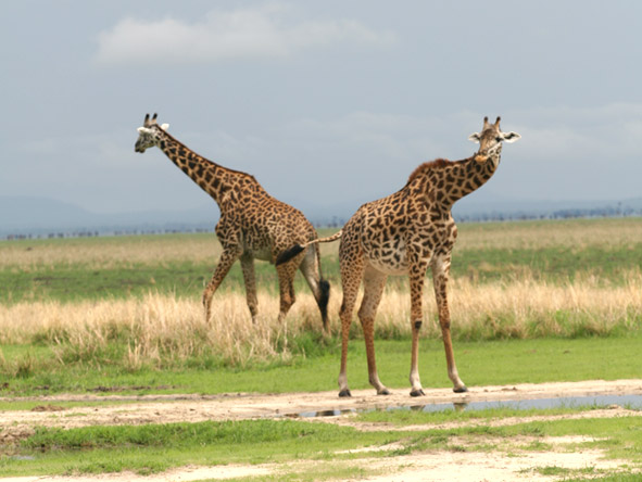 Katuma Bush Lodge - Giraffes
