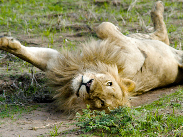 Katuma Bush Lodge - Large lion prides