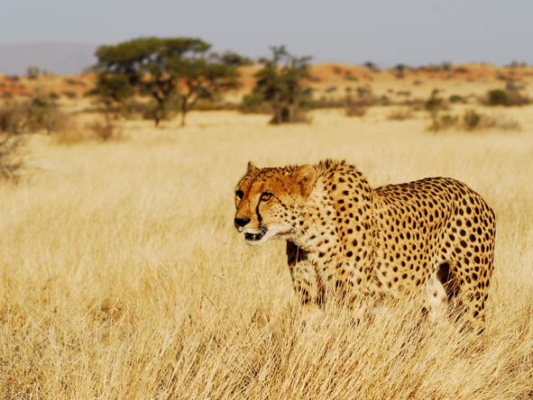 Cheetahs once again roam South Africa's Karoo, thanks to the conservation efforts of several Eastern Cape lodges.