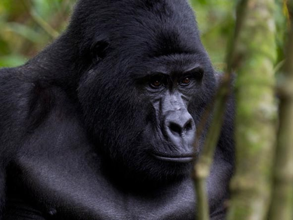 Family groups are usually headed by a huge silverback male - your guide will tell you how to react in his presence!