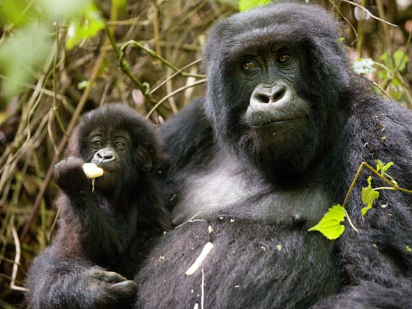 Gorillas in our Uganda & Rwanda destinations  - even mothers with young babies - are remarkably relaxed around humans.