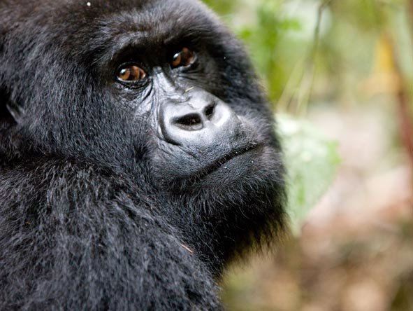 An up-close encounter with wild mountain gorillas is often the highlight of any safari.