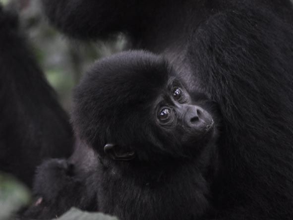 Young mountain gorillas are often as curious about you as you are of them!