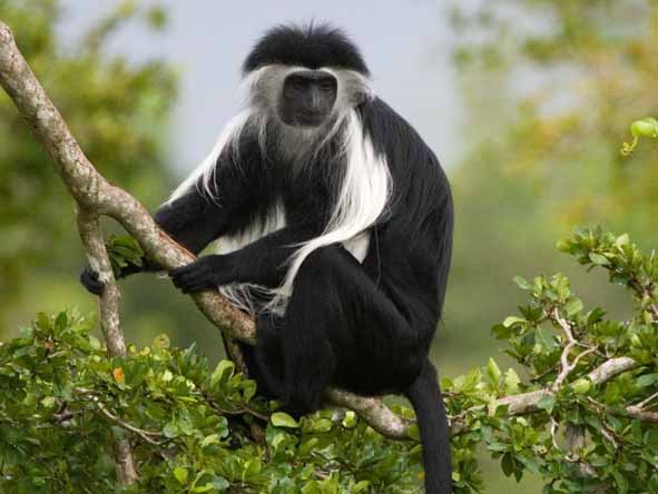 Gorilla trekking also gives you the chance to spot other primates such as black & white colobus monkeys.