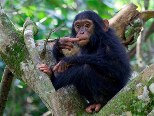 Chimpanzee trekking is becoming as popular as trekking for gorillas - ask us about combining the two experiences.