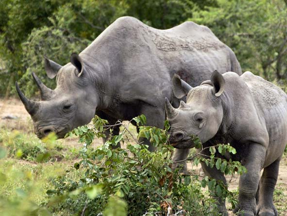 South Africa is a haven for Africa's endangered rhinos - head for the Kruger, KZN & the Eastern Cape.