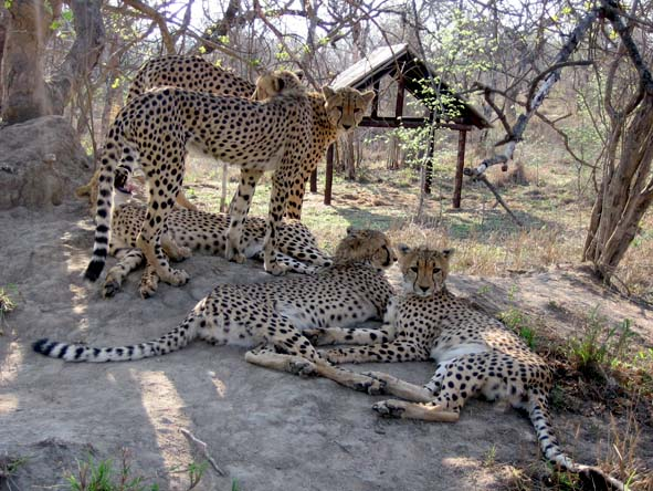 Breeding programmes at several South African reserves have bought the cheetah back from the brink.