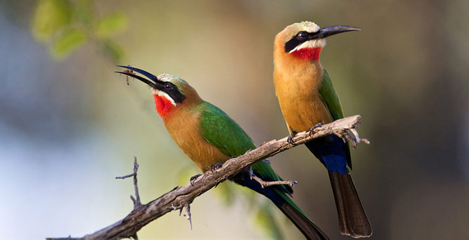 Step into the Wild - white-fronted bee eaters