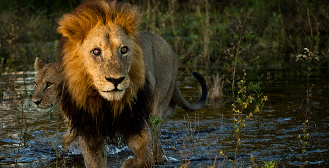 How to Photograph Animals on the Move - lion in water