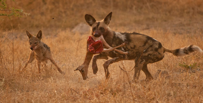How to Photograph Animals on the Move - wild dog and jackal