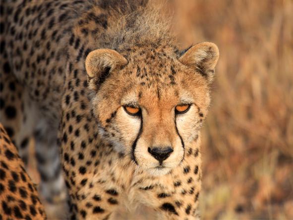 Lemala Kuria Hills - Big cats