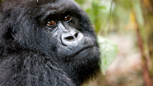 African Tours & Safaris - Gorilla Trekking