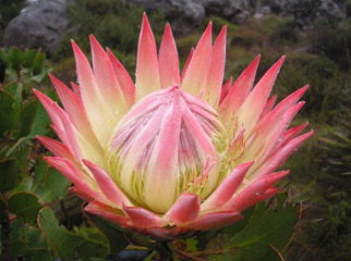 Easy Driver - Beautiful protea