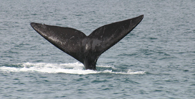 Easy Driver - Whale Tail!