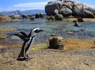 Cape Escape - Penguin at Boulders Beach
