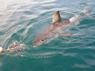 Cape Escape - Great white shark